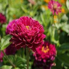 Zinnia (Zinnia Elegans Dahlia Flowered Purple Prince) - Bring a royal touch to the sunny garden with purple Zinnias! Establish Zinnia Purple Prince from flower seeds, and enjoy the long-bloom season a