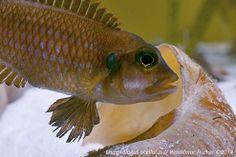 "Der Schneckenbuntbarsch-Blog: Lamprologus ocellatus ""Gold"""