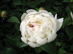 Пионы Крупным планом Белый Цветы