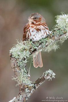 Fox Sparrow on lichen branch