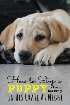 How to stop a puppy from barking in his crate dog-obedience-training and dog-tricks-training - Dog Training Potty. Puppy Potty Training Tips, Training Your Dog, Leash Training, Toilet Training, Dog Crate Training, Labrador Puppy Training, Training Collar, Puppies Tips, Cute Puppies