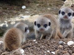 Jerry's refusal to pose for meerkat group photos began at a young age.