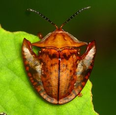Tortoise beetle, Acromis spinifex, Cassidinae | Flickr - Andreas Kay
