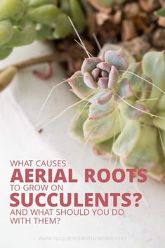 Do you have roots growing from the stem of your succulent? These are aerial roots! They aren't a problem, but this post will tell you all about why they grow and whether or not aerial roots on succulents can be removed. #aerialroots #succulentroots #roothelp #succulent #succulents #plantcare #succulentcare #succulenttips #indoorsucculents #outdoorsucculents #indoorgarden #outdoorgarden #succulentgarden #succulenthouseplants #growingsucculents #gardentips #succulentplanters…