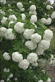 Full size picture of European Cranberry Viburnum, European Snowball Bush, Guelder Rose 'Roseum' (<i>Viburnum opulus</i>) - not sure if ours is snowball or hydrangea.  Cut back leaving 18-24 in in Fall.  Hope to strengthen stems