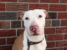 TO BE DESTROYED 5/6/14Brooklyn Center My name is MELO. My Animal ID # is A0996469.I am a male tan and white am pit bull ter mix. The shelter thinks I am about 1 YEAR 1 MONTH old.I came in the shelter as a SEIZED on 04/12/2014 from NY 11216, owner surrender reason stated was OWN EVICT. I came in with Group/Litter #K14-173690.MOST RECENT MEDICAL INFORMATION AND WEIGHT04/27/2014 Exam Type CAGE EXAM - Medical Rating is 2 NC - MINOR CONDITIONS NOT CONTAGIOUS, Behavior Rating is NH ONLY, Weight…