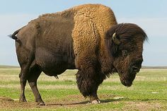 The American Buffalo (Bison Bison) until you have stood near one that stands 10 feet tall at the shoulder, it's hard to truly appreciate the majesty of this beast. Large Animals, Animals And Pets, Giant Animals, Beautiful Creatures, Animals Beautiful, Reptiles, Mammals, Le Bison, Buffalo Animal