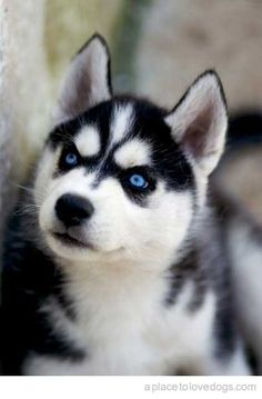 Siberian Huskey <3 She wants me to be her new mommy :)