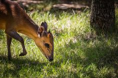 red sided duiker gently grazing