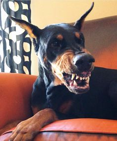 The Doberman Pinscher is among the most popular breed of dogs in the world. Known for its intelligence and loyalty, the Pinscher is both a police- favorite Doberman Funny, Doberman Mix, Doberman Pinscher Dog, Chien Dobermann, Funny Dogs, Cute Dogs, Purebred Dogs, Dobermans, Amor Animal