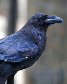 Ravens by cupi on Flickr.