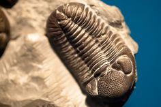 Field Museum - Devonian trilobite - Eldredgeops rana - Sylvania, Ohio.jpg