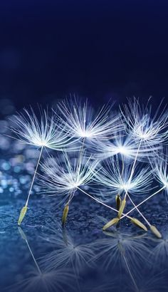 Iphone Wallpapers, Cute Wallpapers, Wallpaper Backgrounds, Dandelions, Christmas Wallpaper, Make A Wish, Color Azul, Mobile Wallpaper, Art Photography