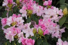 rhododendron jumping jeff - Google Search