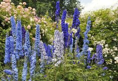 View top-quality stock photos of Blue Delphinium Flowers And Roses Blooming In Summer Garden. Find premium, high-resolution stock photography at Getty Images. Delphinium Flowers, Agapanthus, Delphiniums, Cut Flowers, Purple Flowers, Tall Flowers, Larkspur Plant, Flowers That Attract Hummingbirds, Dianthus Barbatus