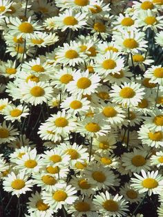 Golden chamomile, oxeye chamomile or Dyer's chamomile