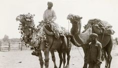 Two Afghan handlers and their camels, one of which is wearing traditional decorative harness, Ancient Egyptian Art, Ancient Aliens, Ancient Greece, Work In Australia, Western Australia, South Australia, European History, American History, Australian Aboriginals