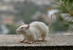 Needle Felted Animals .Wistar Laboratory Rat. Life by darialvovsky, $168.00