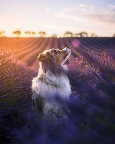 #Sunset #Dog #Flowers
