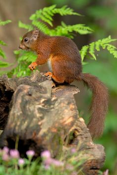Great pic of a red squirrel