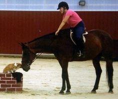 Corgi and horse