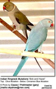 "Indian Ringneck Mutations ""Bob and Hazel"""