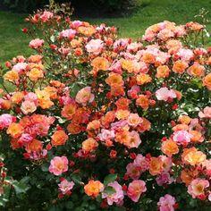 Długo kwitnąca róża o ciepłej, pomarańczowej barwie kwiatów. Idealna do sadzenia w małych i