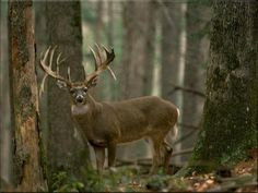 First Look At A Big Beautiful Buck Deer