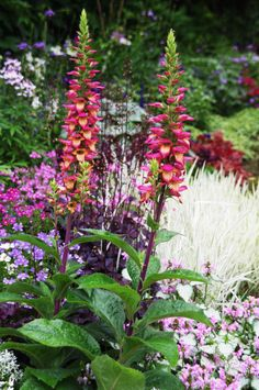 Digitalis 'Illumination Flame' (syn. Digiplexis™ Illumination™ 'Flame') produces continuous spires of blooms from summer through fall.  Photo: courtesy of Cultivaris