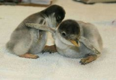 Penguin Chicks Animals Amazing, Pug Life, Seaside, Penguins, Rainbow, Animal Memes, Bunny, Penguin Baby, Football