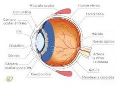 Estas son algunas estructuras del globo ocular internas. Podemos reconocer los nombres y la ubicación.