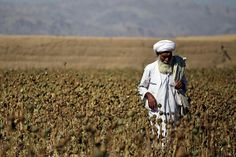 Afghanistan poppy production could skyrocket due to spike in ...
