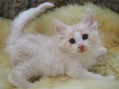 里親さんブログノルウェージャンフォレストキャットの子猫ちゃん - http://iyaiyahajimeru.jp/cat/archives/66246