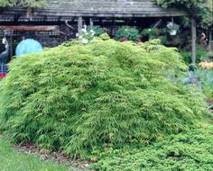 Landscape Project • Viridis Japanese Maple for partial shade. 8-12 ft tall and wide.