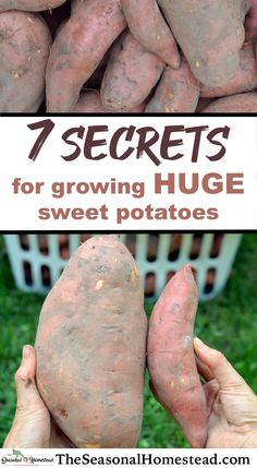 My first year of growing sweet potatoes was also my worst sweet potato harvest year ever. They were so small and I harvested very few. Thank goodness for learning from mistakes. I've been consistently growing massive sweet potatoes every year since. Potato Gardening, Planting Potatoes, Vegetable Gardening, Gardening For Beginners, Gardening Tips, Organic Gardening, Growing Plants, Growing Vegetables, Regrow Vegetables