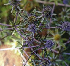 Eryngium x virginianum