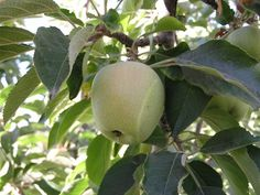 White Pearmain- England 1200's the oldest variety still around!!! Great dessert apple and self-fertile! No reason not to....