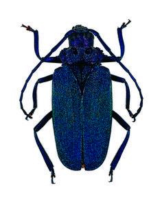 Longhorn Beetle, Oklahoma Sooners, College Football, Golf Bags, Cowboys, Longhorns, Beetles, Doggies, Bugs