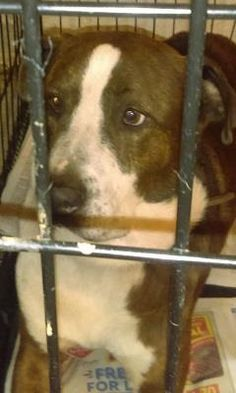 12/9/16 - Please help, still waiting for a home - Beautiful dog! Devoted! -Basil - URGENT - Dekalb County Animal Shelter in Decatur, Georgia - ADOPT OR FOSTER - 3 year old Neutered Male Pit Bull Mix