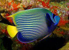 Emperor #Angelfish #Fiji . Nick Hobgood