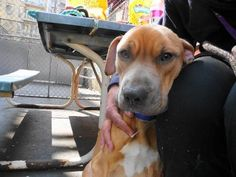 Manhattan Center    My name is FELIX. My Animal ID # is A0926696.  I am a male tan pit bull mix. The shelter thinks I am about 3 years old.    I came in the shelter as a STRAY on 03/16/2012 from NY 10027, owner surrender reason stated was CRUELTY.     https://www.facebook.com/photo.php?fbid=394157613930457&set=a.275017085844511.78596.152876678058553&type=3&theater