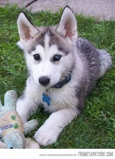 Heterochromic husky puppy...my husband would love to have this dog!