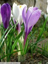 Herbář Wendys - Crocus vernus - šafrán jarní Plants, Gardens, Plant, Planting, Planets