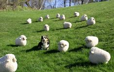 The Corgi That Herded A Huge Group Stuffed Sheep