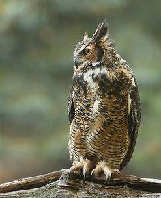 "Great Horned Owl. Photo by: David Hemmings on Flickr.  "" Hummingbirds"""