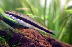 Picture Siamesisk algeaeder (Crossocheilus siamensis)