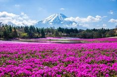 Check out our list of the best places to visit in Japan for all of the coolest on and off-the-beaten-track destinations. Start planning your next trip now. Places Around The World, The Places Youll Go, Cool Places To Visit, Around The Worlds, Peaceful Places, Beautiful Places, Phlox Flowers, Cherry Blossom Season, Short Trip