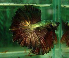 AquaBid.com - Item # fwbettashm1339541516 - +++ Copper Gold Fire Feather tail OHM male +++ - Ends: Tue Jun 12 2012 - 05:51:56 PM CDT