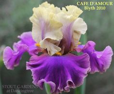 Iris CAFÉ D'AMOUR by Barry Blyth (2010), vibrant buff yellow and purple bi-colored tall bearded iris available at Stout Gardens USA.