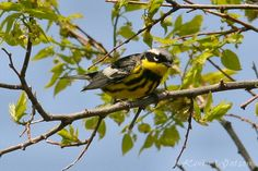 Photo Gallery :: Birds of the Northeast US :: 45
